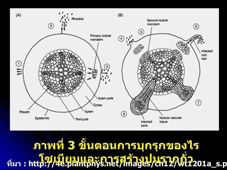 ภาพที่ 3 ขั้นตอนการบุกรุกของไรโซเบียมและการสร้างปมรากถั่ว