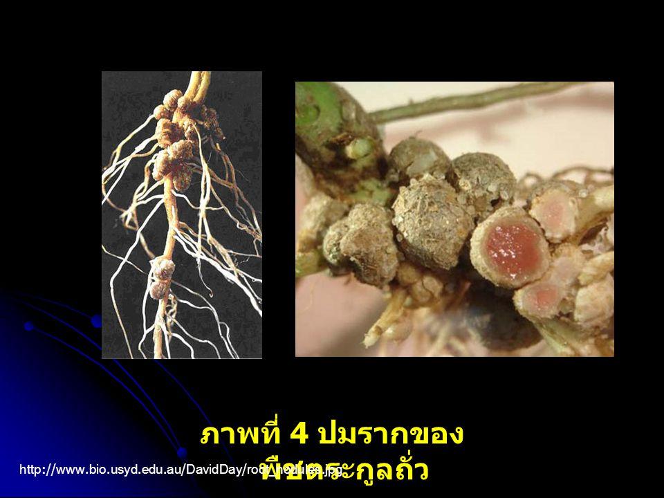 ภาพที่ 4 ปมรากของพืชตระกูลถั่ว