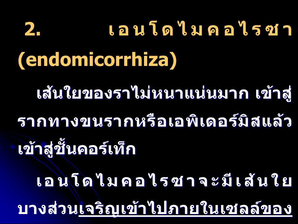 2. เอนโดไมคอไรซา (endomicorrhiza)