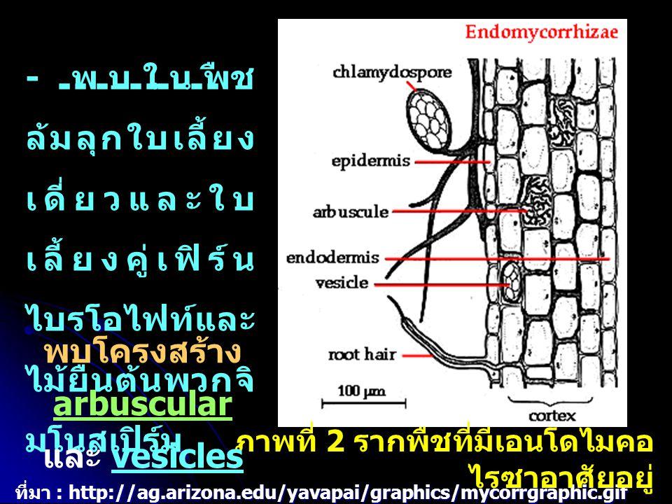 พบโครงสร้าง arbuscular และ vesicles