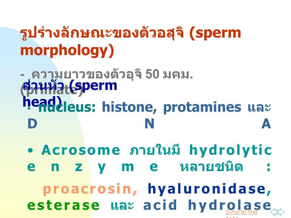 รูปร่างลักษณะของตัวอสุจิ (sperm morphology)