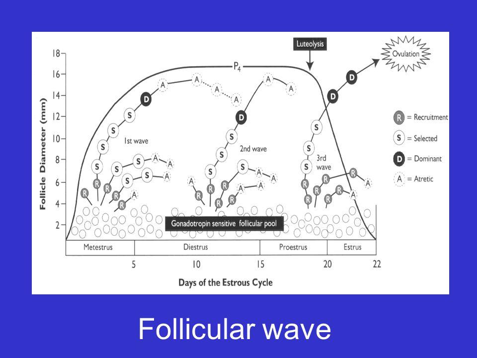 Follicular wave
