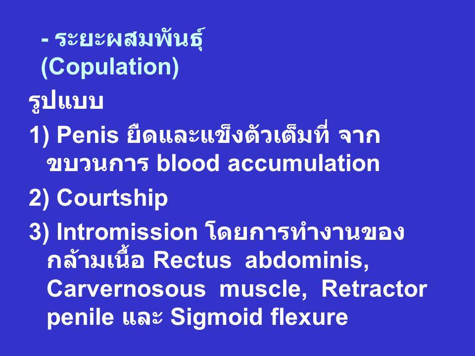 - ระยะผสมพันธุ์ (Copulation)