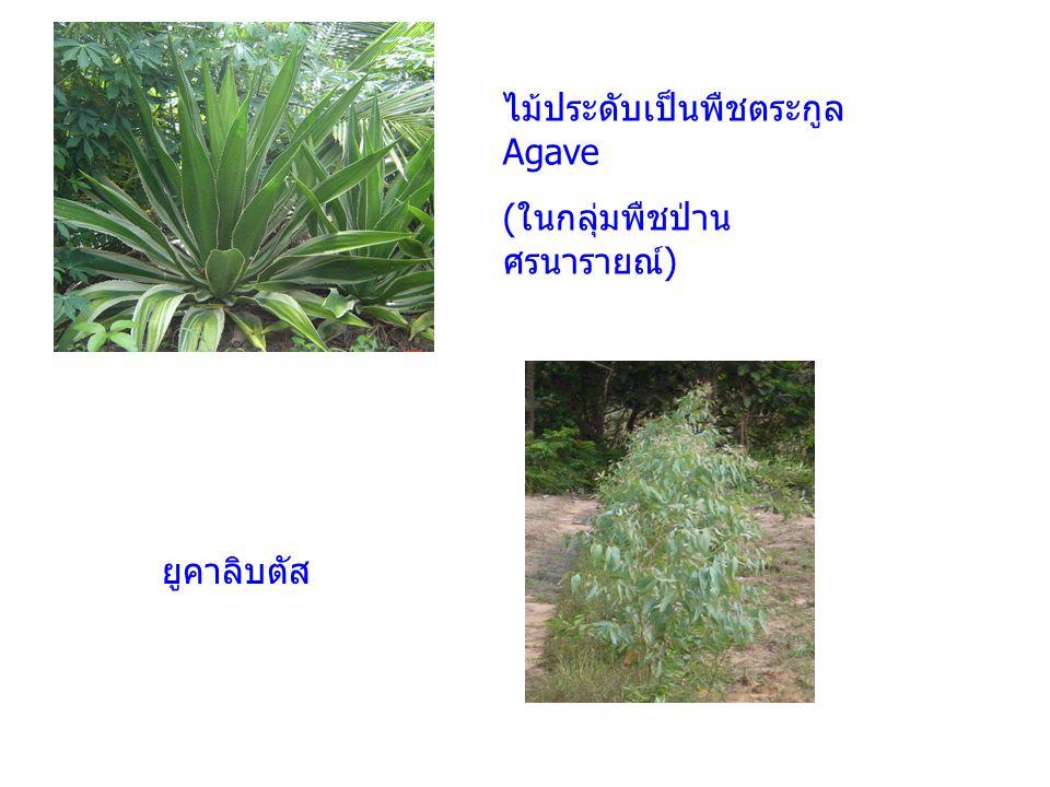 ไม้ประดับเป็นพืชตระกูล Agave