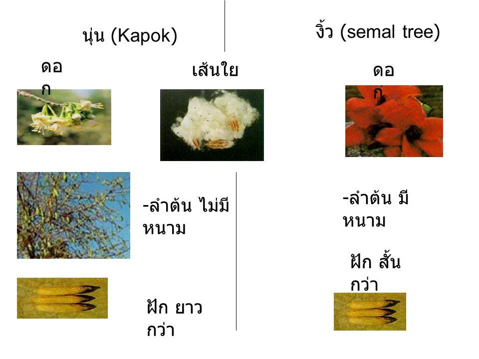 งิ้ว (semal tree) นุ่น (Kapok) ดอก. เส้นใย. ดอก. -ลำต้น มีหนาม. -ลำต้น ไม่มีหนาม. ฝัก สั้นกว่า.