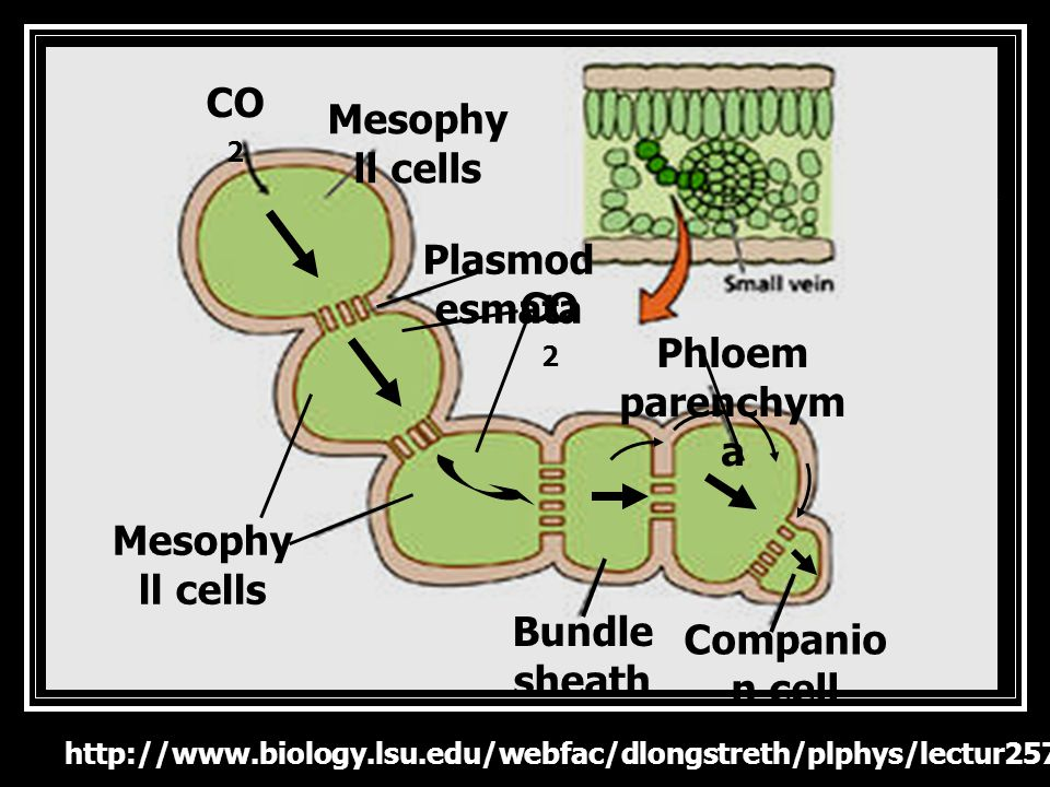 CO2 Mesophyll cells Plasmodesmata CO2 Phloem parenchyma