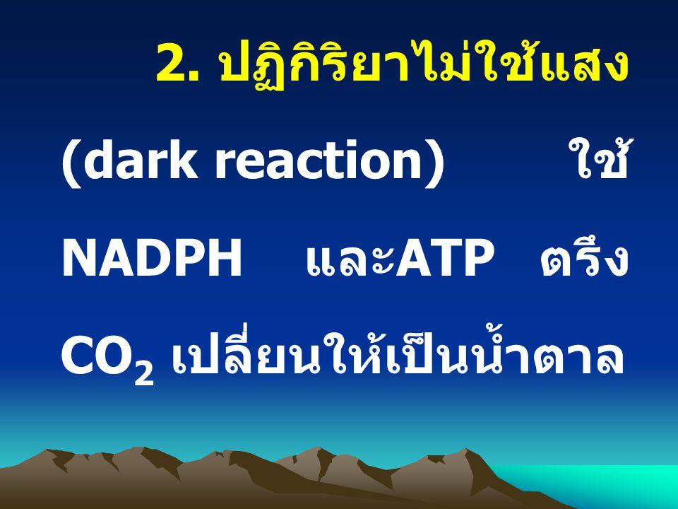 2. ปฏิกิริยาไม่ใช้แสง (dark reaction) ใช้ NADPH และATP ตรึง CO2 เปลี่ยนให้เป็นน้ำตาล