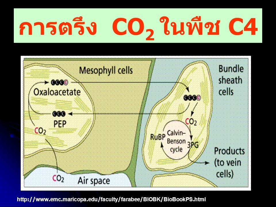 การตรึง CO2 ในพืช C4 http://www.emc.maricopa.edu/faculty/farabee/BIOBK/BioBookPS.html