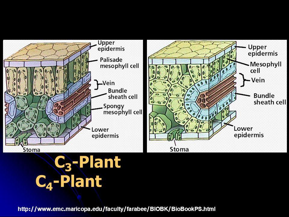 C3-Plant C4-Plant http://www.emc.maricopa.edu/faculty/farabee/BIOBK/BioBookPS.html