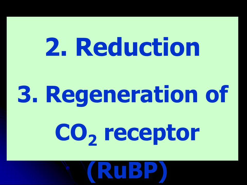 3. Regeneration of CO2 receptor (RuBP)