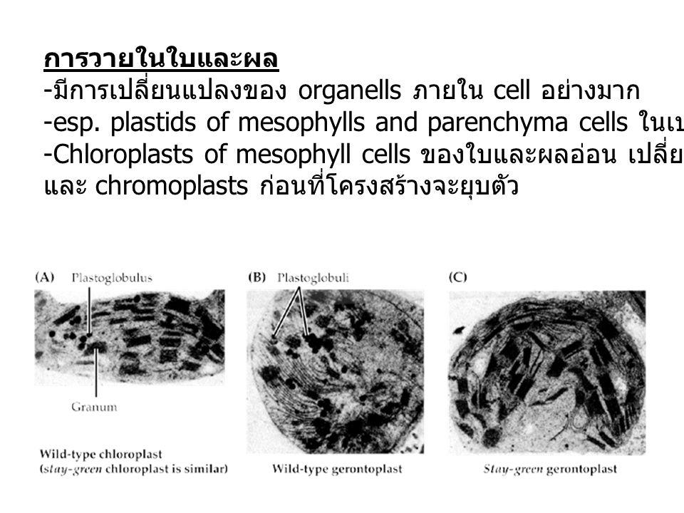 การวายในใบและผล มีการเปลี่ยนแปลงของ organells ภายใน cell อย่างมาก. esp. plastids of mesophylls and parenchyma cells ในเปลือก (pericarp)