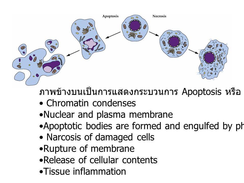 ภาพข้างบนเป็นการแสดงกระบวนการ Apoptosis หรือ PCD ในเซลล์สัตว์