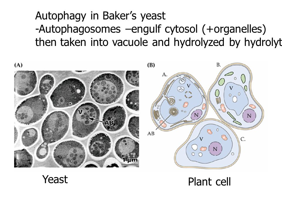 Autophagy in Baker's yeast