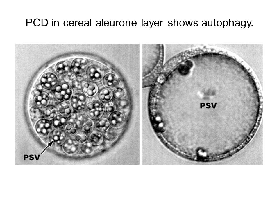 PCD in cereal aleurone layer shows autophagy.