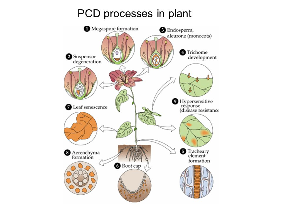 PCD processes in plant
