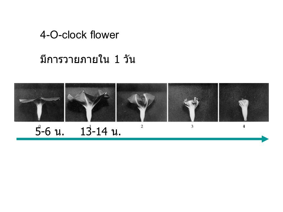 4-O-clock flower มีการวายภายใน 1 วัน 5-6 น. 13-14 น.