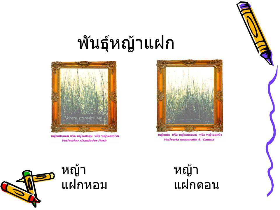 พันธุ์หญ้าแฝก หญ้าแฝกหอม หญ้าแฝกดอน