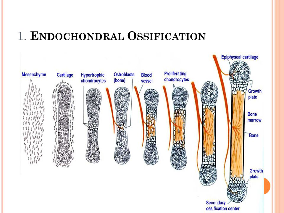 1. Endochondral Ossification