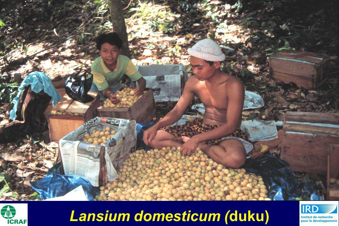 Lansium domesticum (duku)