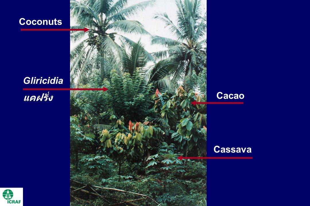 Coconuts Gliricidia แคฝรั่ง Cacao Cassava