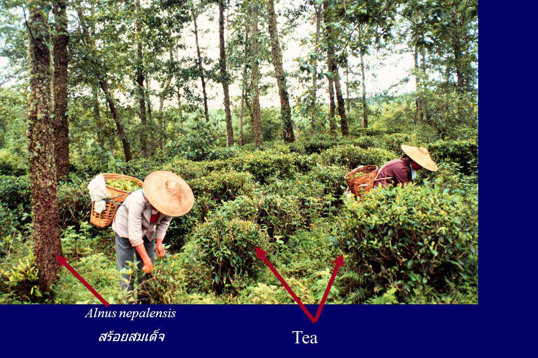 Alnus nepalensis สร้อยสมเด็จ Tea
