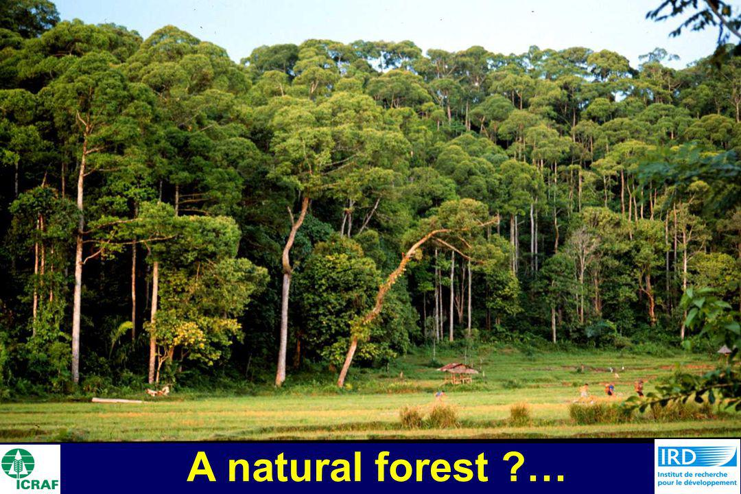 A natural forest …