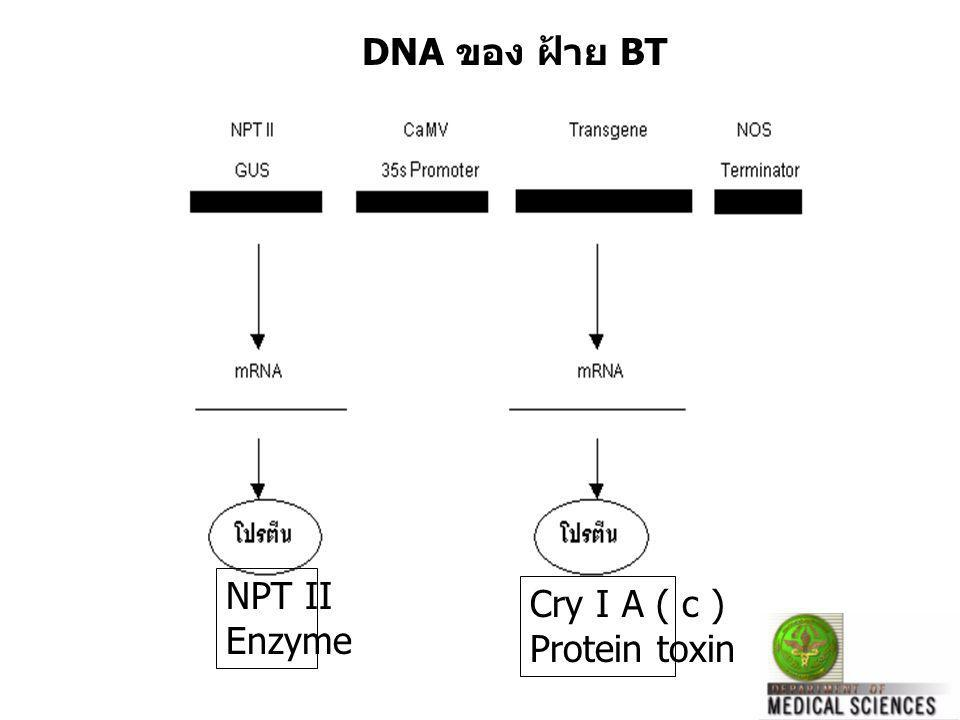 DNA ของ ฝ้าย BT NPT II Enzyme Cry I A ( c ) Protein toxin