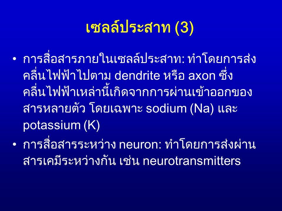 เซลล์ประสาท (3)