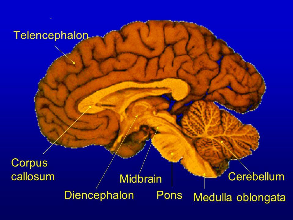 Telencephalon Corpus callosum Cerebellum Midbrain Diencephalon Pons Medulla oblongata