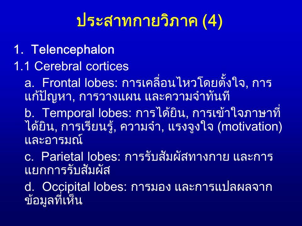 ประสาทกายวิภาค (4) 1. Telencephalon 1.1 Cerebral cortices