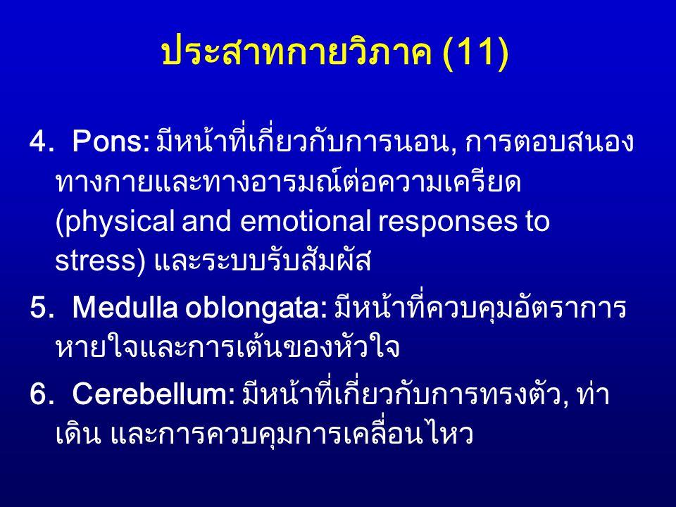 ประสาทกายวิภาค (11)