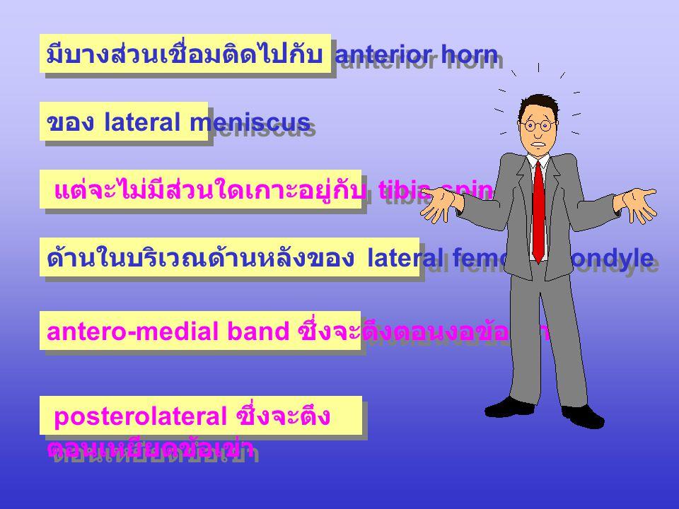 มีบางส่วนเชื่อมติดไปกับ anterior horn