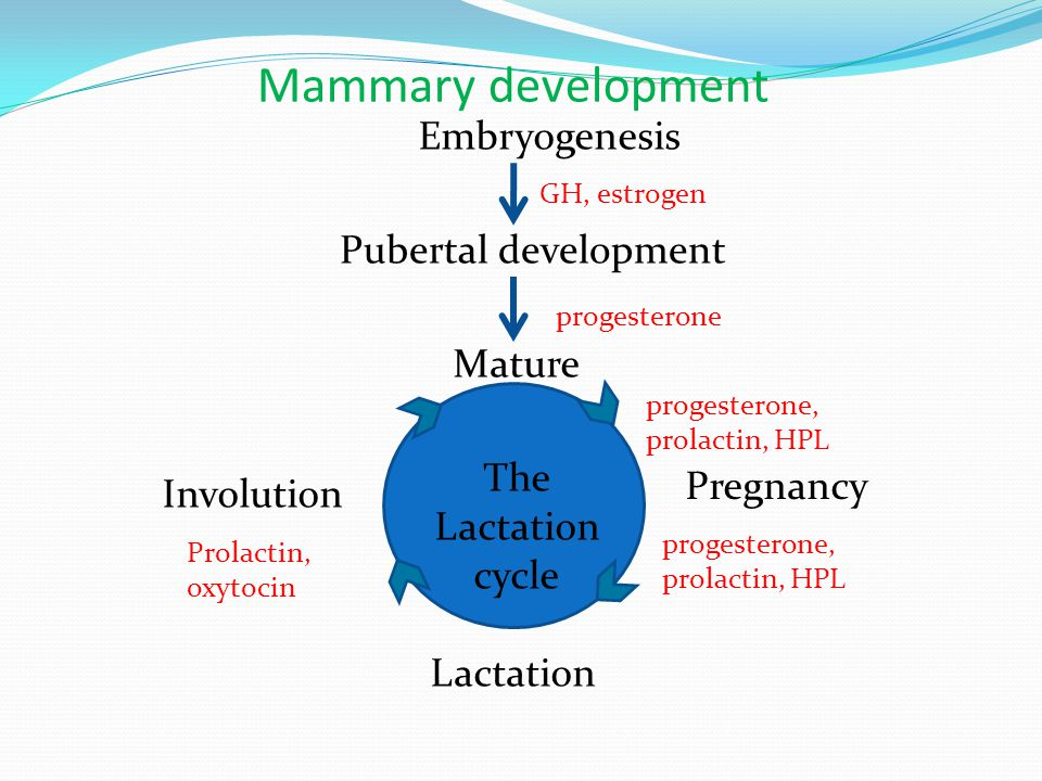 Mammary development Embryogenesis Pubertal development Mature