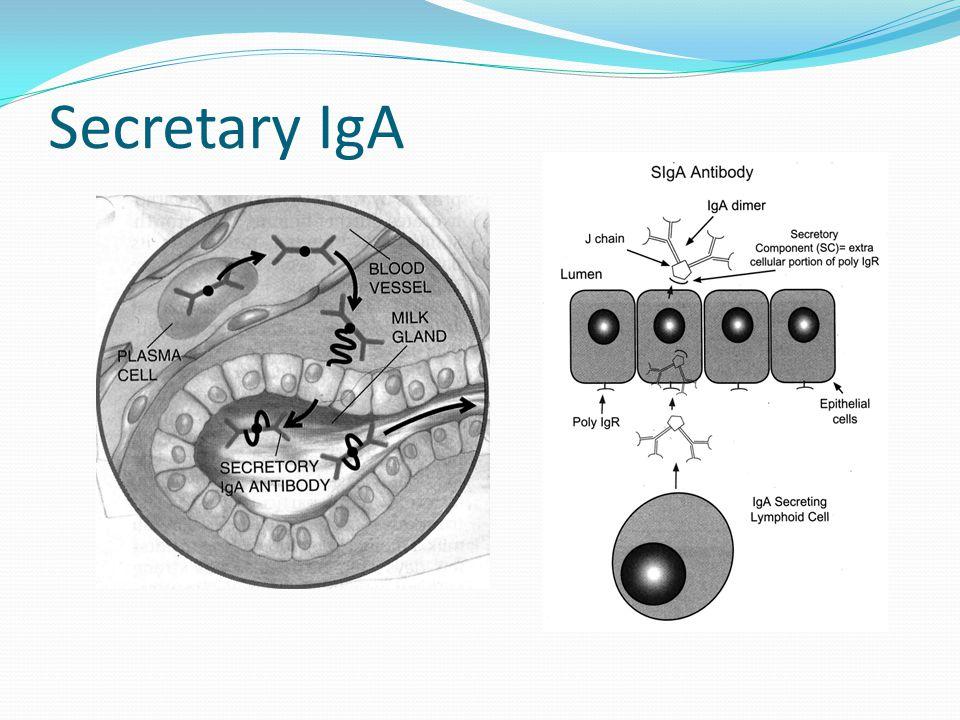 Secretary IgA