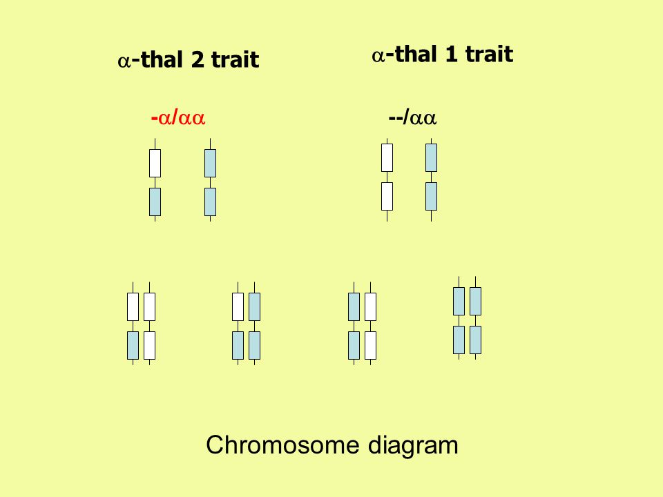 a-thal 1 trait a-thal 2 trait -a/aa --/aa Chromosome diagram