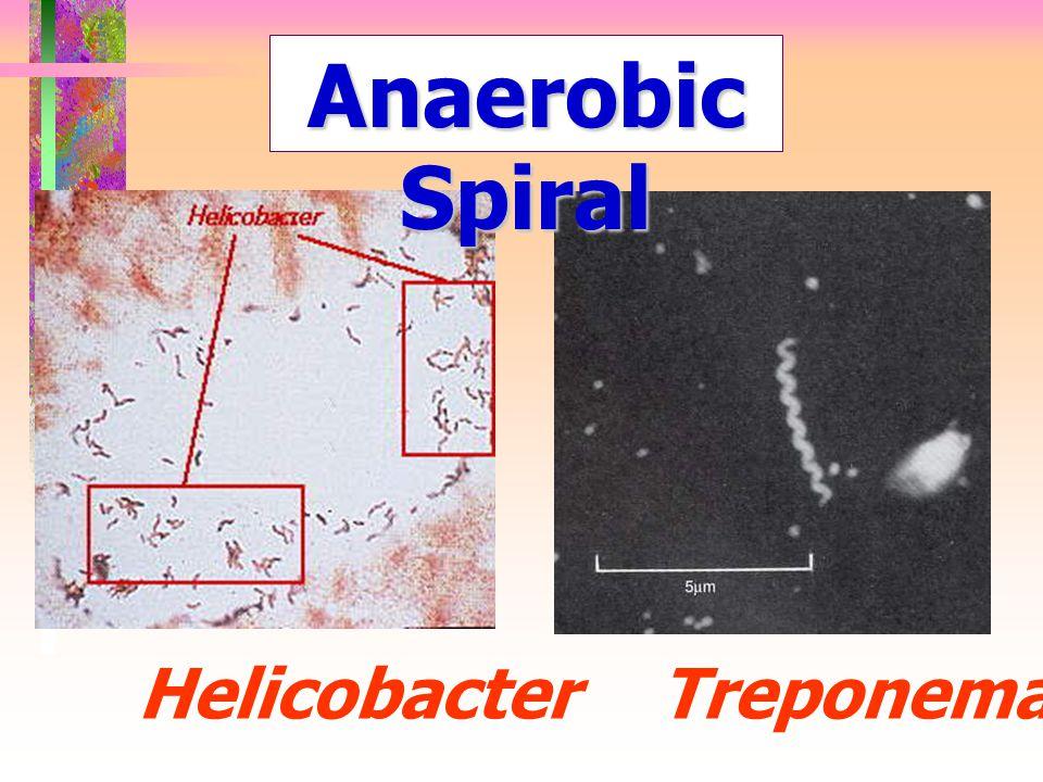 Anaerobic Spiral Helicobacter Treponema