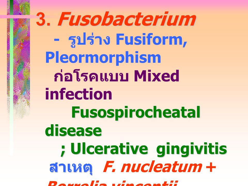 3. Fusobacterium - รูปร่าง Fusiform, Pleormorphism
