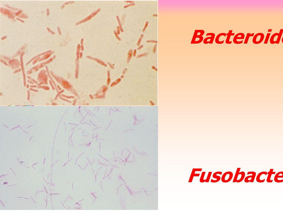 Bacteroides Fusobacterium