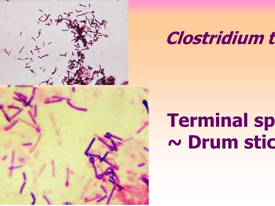 Clostridium tetani Terminal spore ~ Drum stick