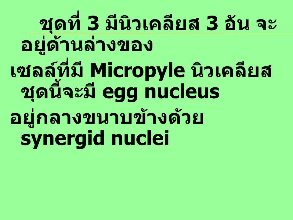 ชุดที่ 3 มีนิวเคลียส 3 อัน จะอยู่ด้านล่างของ