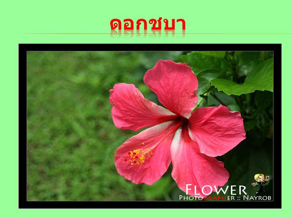 ดอกชบา