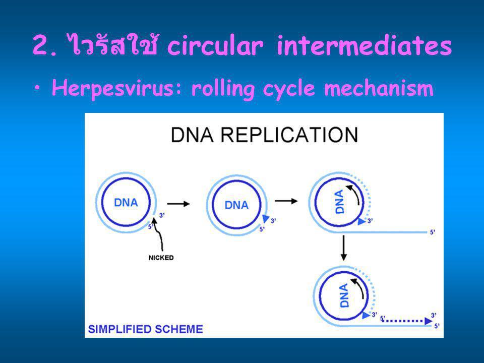 2. ไวรัสใช้ circular intermediates