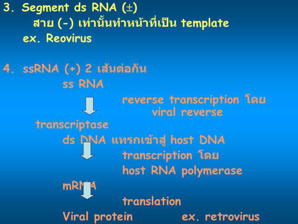 3. Segment ds RNA () สาย (-) เท่านั้นทำหน้าที่เป็น template. ex. Reovirus. ssRNA (+) 2 เส้นต่อกัน.