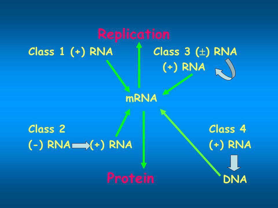 Replication Class 1 (+) RNA Class 3 () RNA. (+) RNA. mRNA. Class 2 Class 4. (-) RNA (+) RNA (+) RNA.
