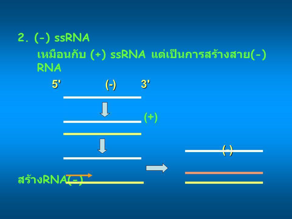 2. (-) ssRNA เหมือนกับ (+) ssRNA แต่เป็นการสร้างสาย(-) RNA 5 (-) 3 (+) (-) สร้างRNA(-)