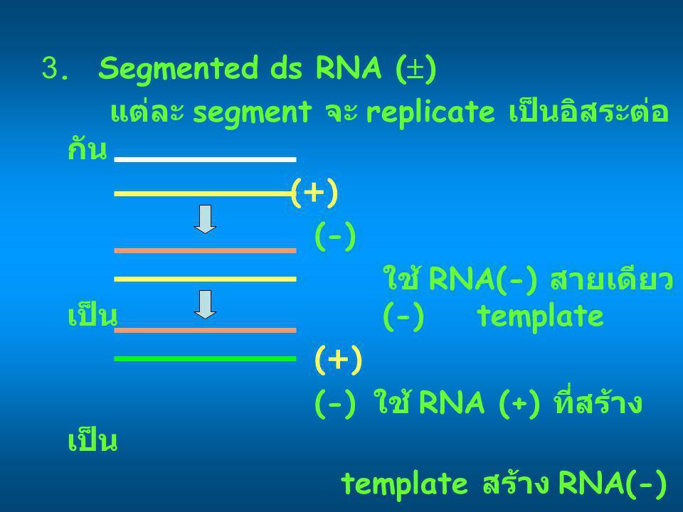 3. Segmented ds RNA () แต่ละ segment จะ replicate เป็นอิสระต่อกัน. (+) (-) ใช้ RNA(-) สายเดียวเป็น (-) template.