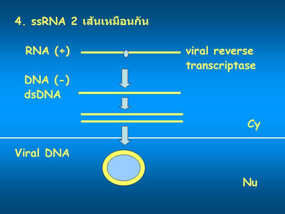 4. ssRNA 2 เส้นเหมือนกัน RNA (+) viral reverse transcriptase DNA (-) dsDNA Cy Viral DNA Nu