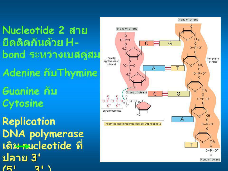 Nucleotide 2 สายยึดติดกันด้วย H-bond ระหว่างเบสคู่สม