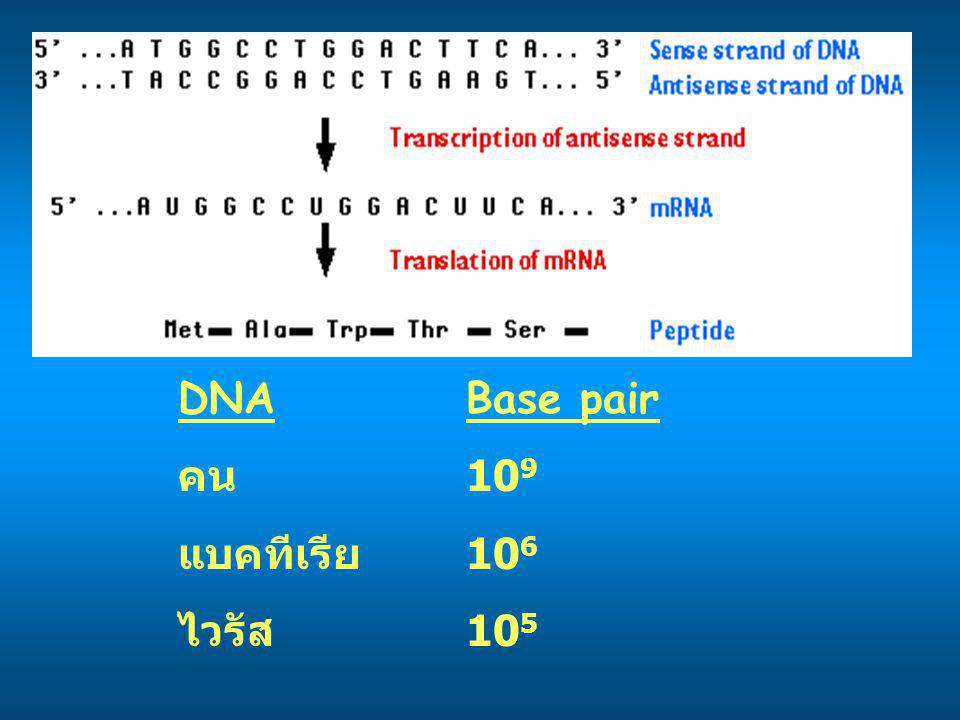 DNA Base pair คน 109 แบคทีเรีย 106 ไวรัส 105