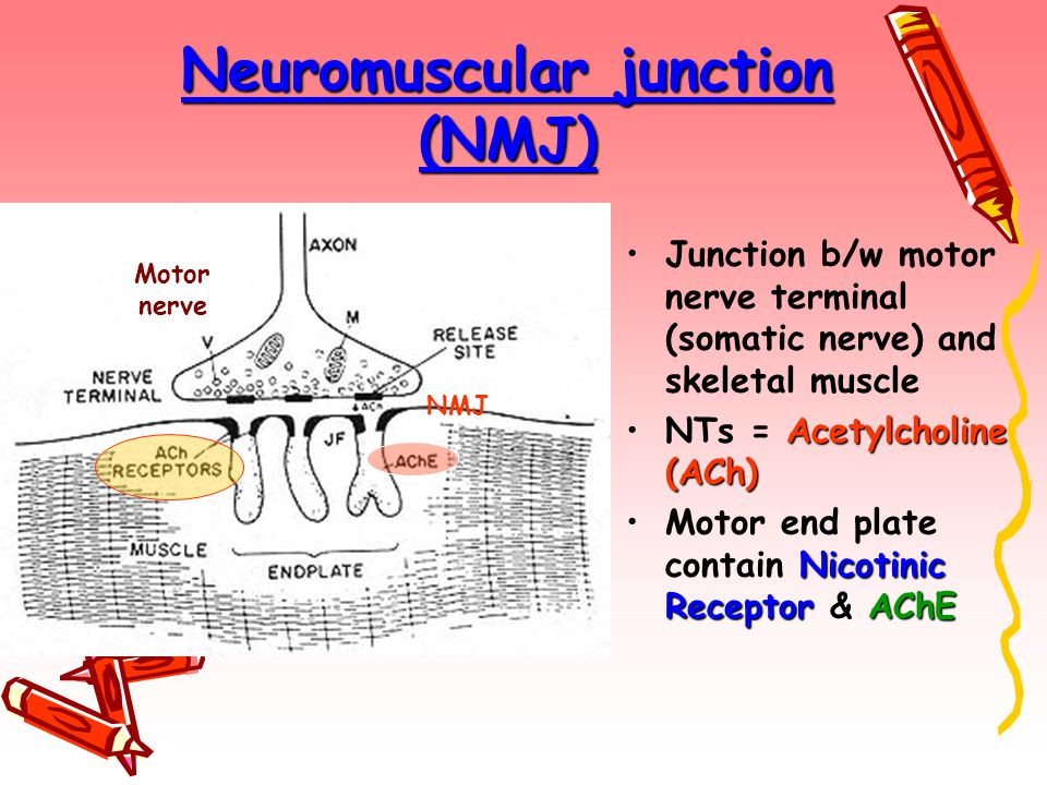 Neuromuscular junction (NMJ)